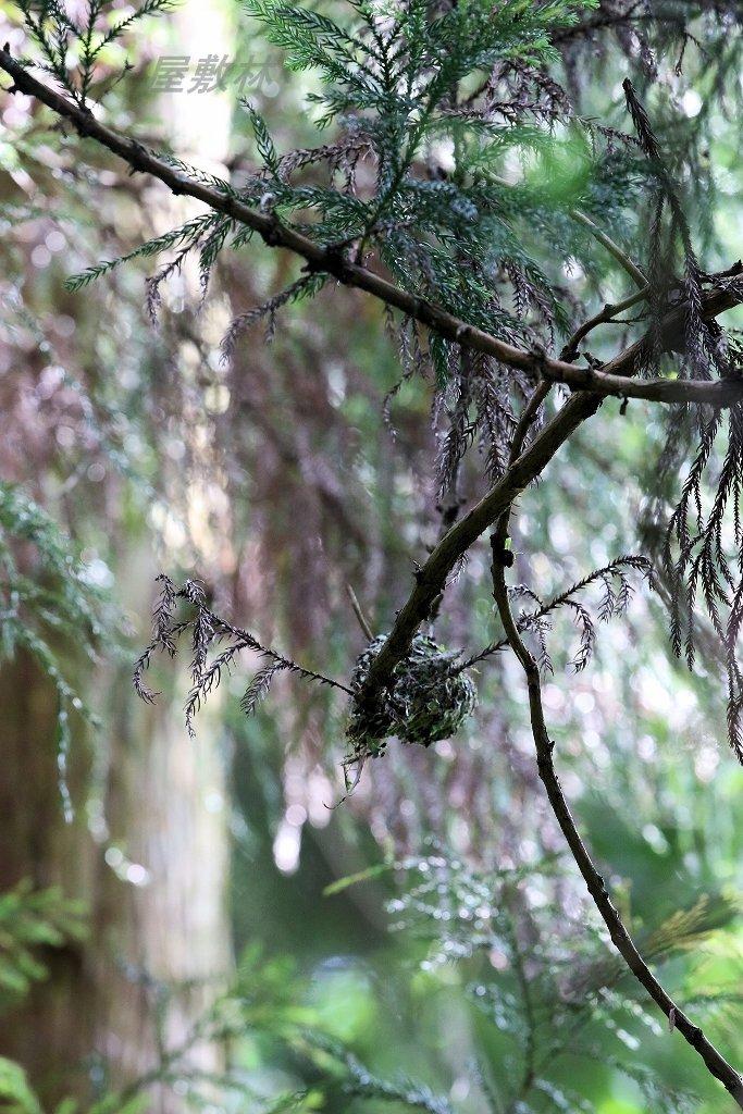 サンコウチョウの巣