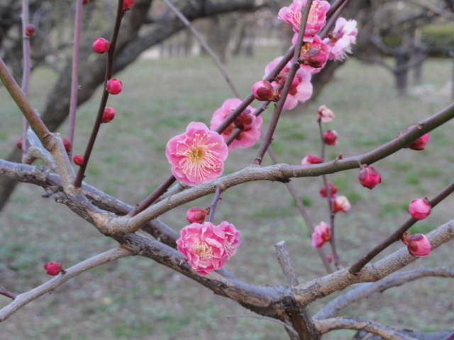 2015年2月11日 大阪城公園梅林 寒紅