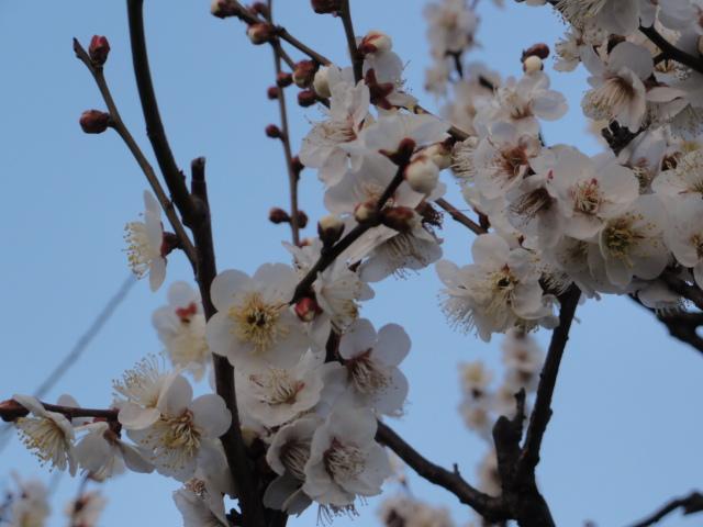 2015年2月11日 大阪城公園梅林 冬至
