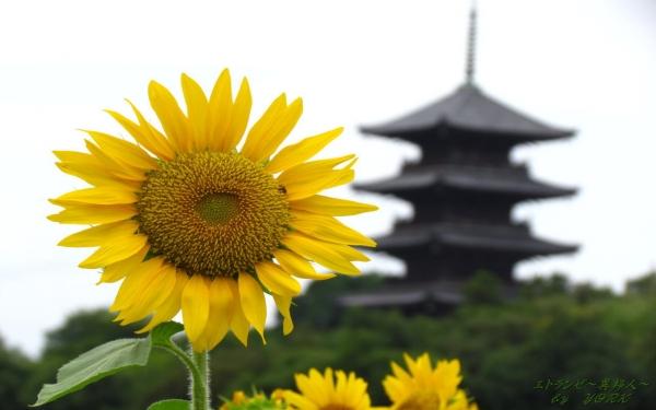 壁紙 9350向日葵と五重塔1280×800