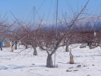 H270125雪のもも畑
