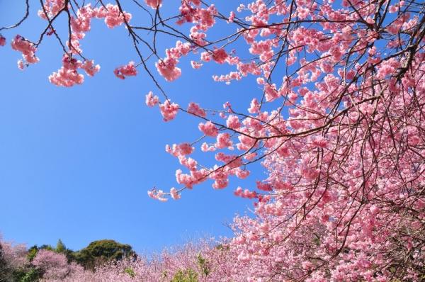 1雪割桜15.03.05