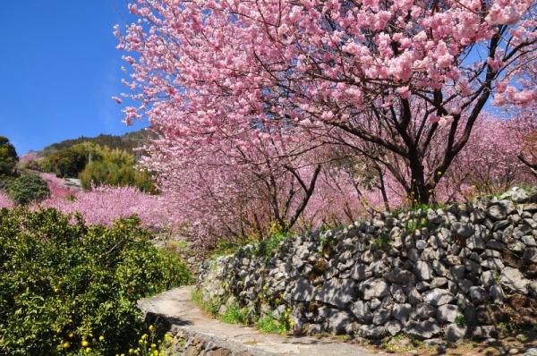 2雪割桜15.03.05