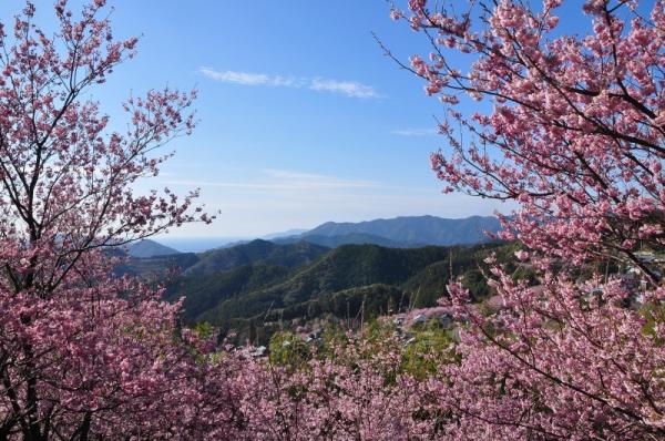 3雪割桜15.03.05