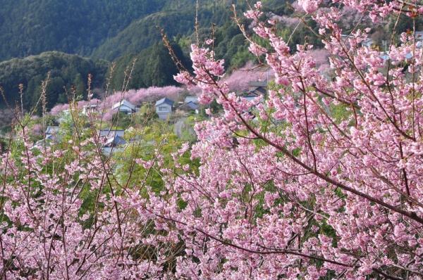 4雪割桜15.03.05