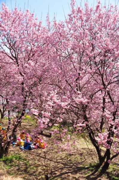 5雪割桜15.03.05