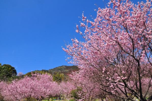 6雪割桜15.03.05