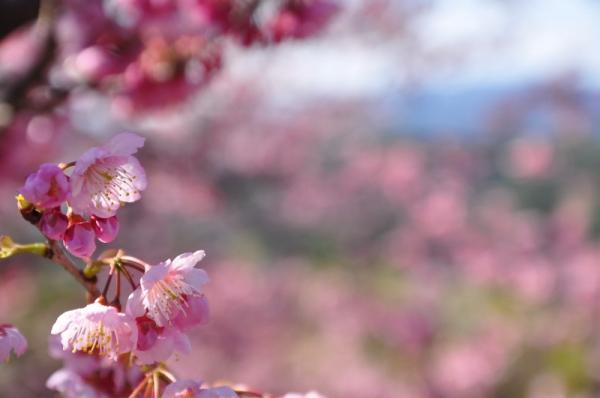 7雪割桜15.03.05