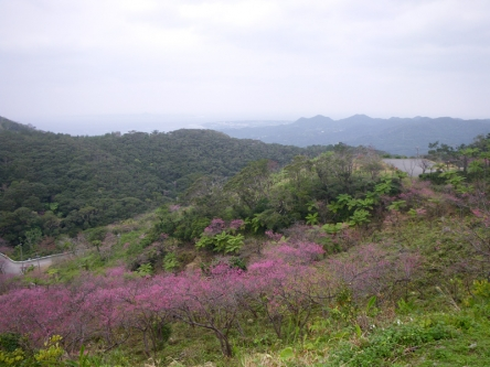 頂上付近斜面の桜