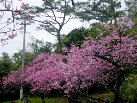 カーブの桜