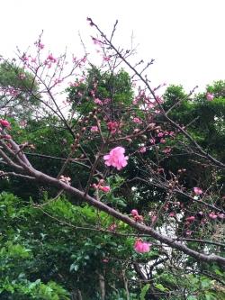 具志堅道の桜