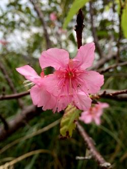 具志堅の桜アップ