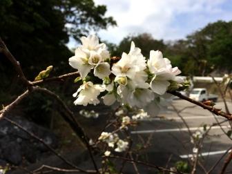 伊豆味の桜02