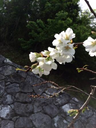 伊豆味の桜01