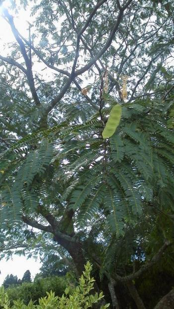 合歓の木の種(友人が撮った2015 8.