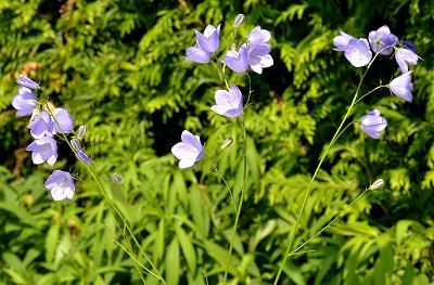 Companula rotundifolia Harebell 02-2