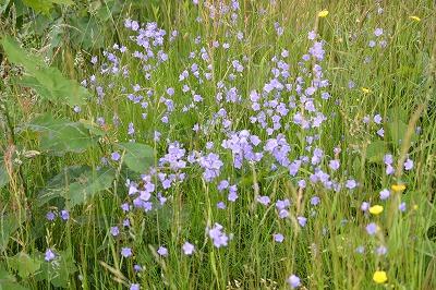 Companula rotundifolia Harebell 01-1