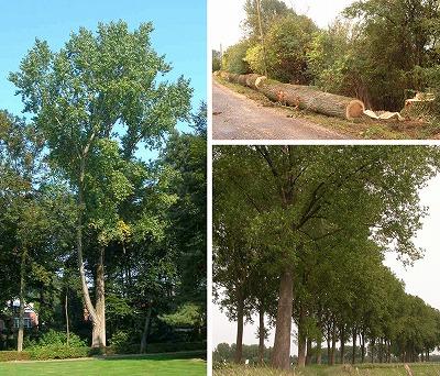 Straatbomen van Canadensis