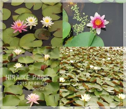 季節の花「蓮・睡蓮」を見に③