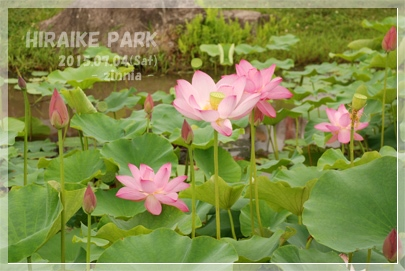 季節の花「蓮・睡蓮」を見に④