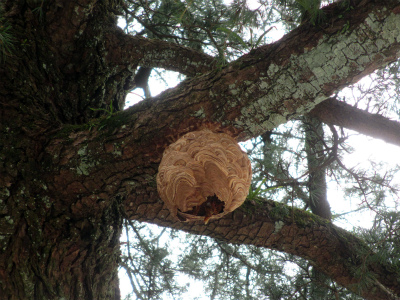 ヒマラヤスギとスズメバチの巣