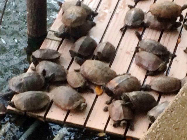 池にいる大量の亀2 by占いとか魔術とか所蔵画像
