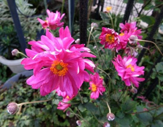 シュウメイギク八重の赤い花