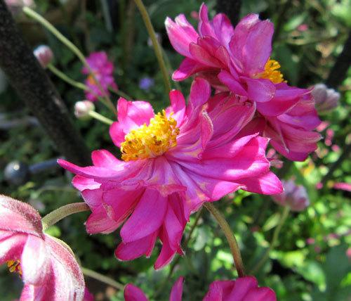 八重の赤い花