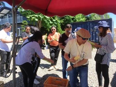 とうもろこし収穫体験旭川ふるさと旅行6