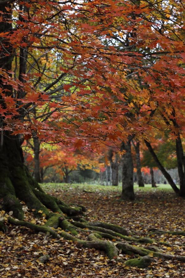 018A6929 大木の美しい根