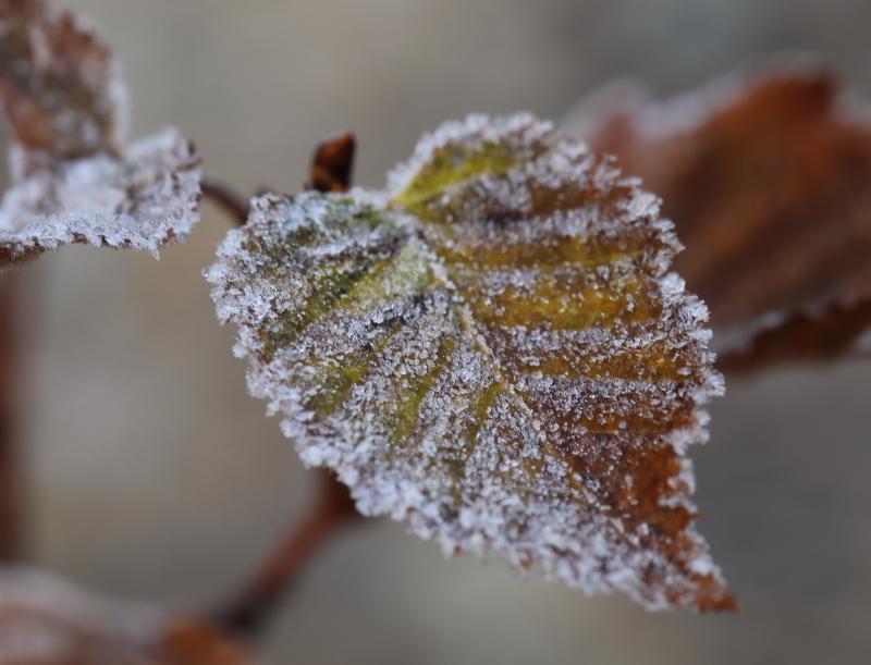 018A7287 凍てつく葉