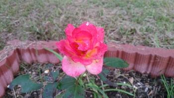 2018.10.アンネのバラ2