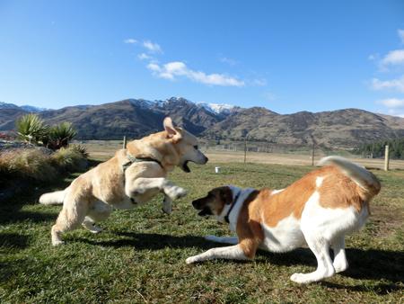 羊の国のラブラドール絵日記シニア!!「プレイ・バウ」写真4