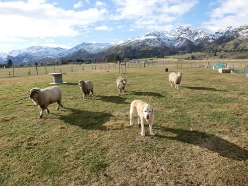 羊の国のラブラドール絵日記シニア!!「CとY」写真2