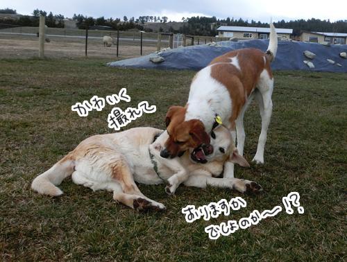 羊の国のラブラドール絵日記シニア!!「ブログ犬」1