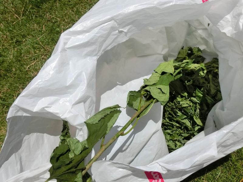 乾燥した桑の葉
