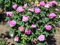 2018-06-09花巻薔薇園206