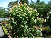 2018-06-09花巻薔薇園205