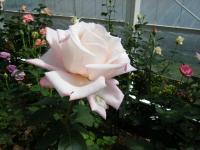 2018-06-09花巻薔薇園215