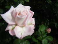 2018-06-09花巻薔薇園213