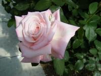 2018-06-09花巻薔薇園214