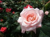 2018-06-09花巻薔薇園222