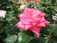 2018-06-09花巻薔薇園220