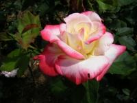 2018-06-09花巻薔薇園227
