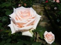 2018-06-09花巻薔薇園226