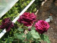 2018-06-09花巻薔薇園223