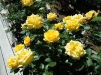 2018-06-09花巻薔薇園233