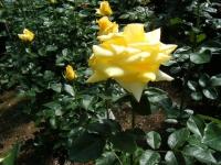 2018-06-09花巻薔薇園231