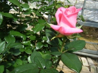 2018-06-09花巻薔薇園230