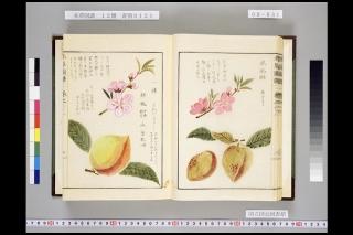 本草図譜巻六十二「桃」より